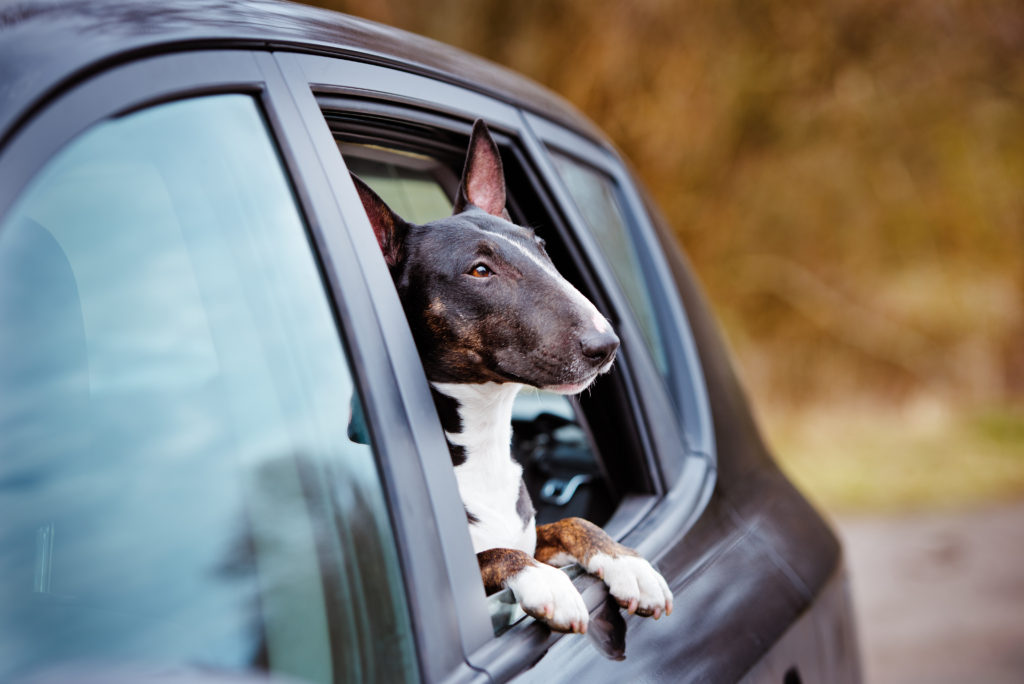 cute dog with his head out of a car window after side window replacement
